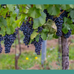 Fredericksburg Texas is known for beautiful orchards and vineyards.